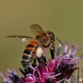 bi-pollinering av rödklöver_IMG_3514-bi-200c2